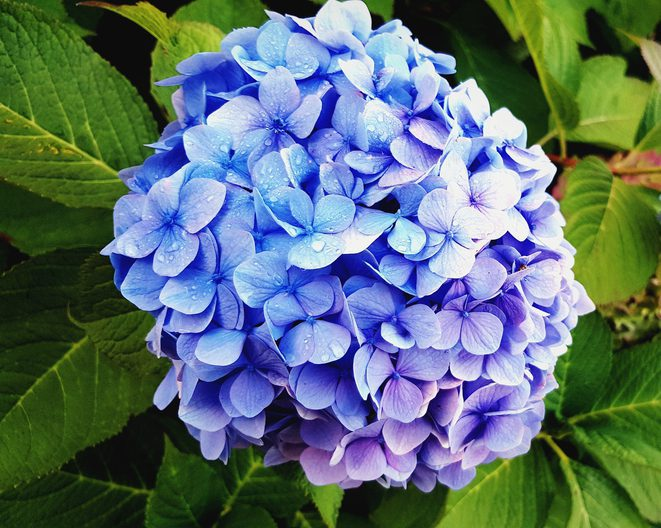 Should You Prune Hydrangeas?